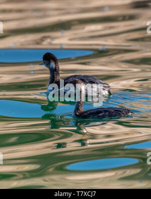 Two Eared Grebes (Podiceps nigricollis) swimming on the surface with reflections, Baja California, Mexico. - Stock Image
