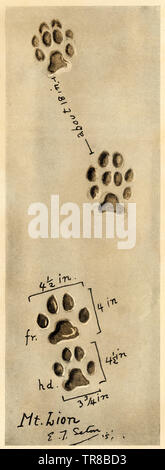 Mountain lion, or cougar, tracks. Halftone reproduction of an Ernest Thompson Seton illustration - Stock Image