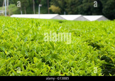 The green house for growing green tea, SHizuoka, Japan - Stock Image