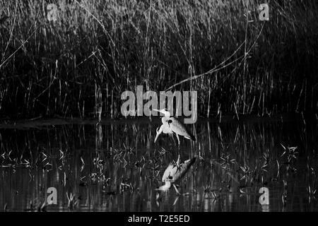 Heron standing in the swamp - Stock Image