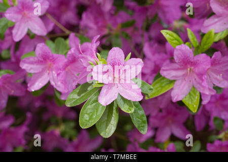 Rhododendron 'Pippa' flowers. - Stock Image