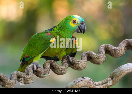 Blue-fronted Amazon Parrot, Amazona aestiva, sometimes called Turquiose-fronted Parrot, Pantanal, Mato Grosso, Brazil - Stock Image