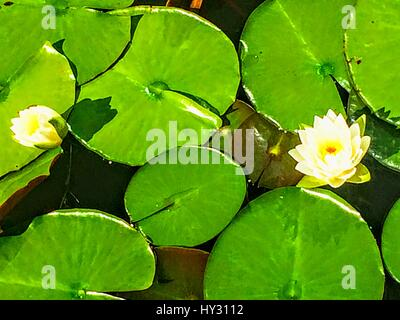 Close-Up Of Lotus Water Lily - Stock Image