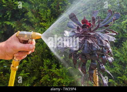 Man's hand in closeup watering an unusual purple plant outside with hose and adjustable brass attachment, with tall green conifers in the background. - Stock Image