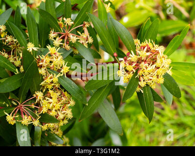 Small yelow flowers of the spring blooming Tasmanian mountain pepper bush, Tasmannia lanceolata - Stock Image