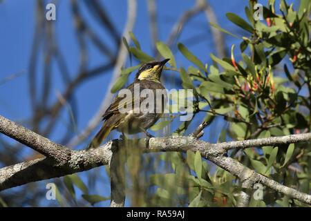 An Australian, Queensland Mangrove Honeyeater ( Lichenostomus fasciogularis ) perched on a tree branch - Stock Image