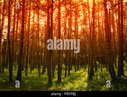 Sunrise in the woods - Stock Image