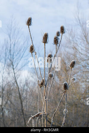 Frost covered Teasels UK - Stock Image