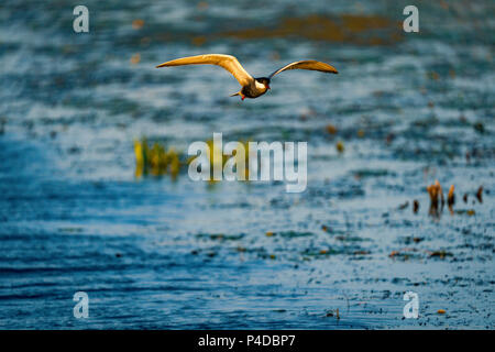 White-cheeked Tern flying over water in Danube Delta, Romania. Tern in flight at sunrise - Stock Image