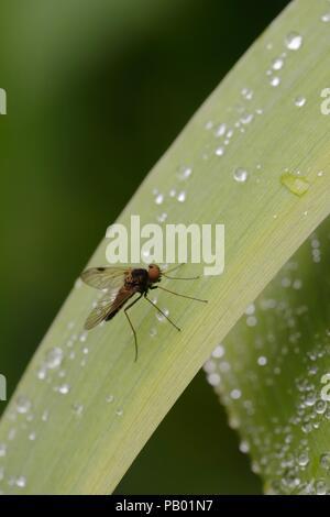 Snipe fly, Chrysopilus cristatus, Wales, UK. - Stock Image