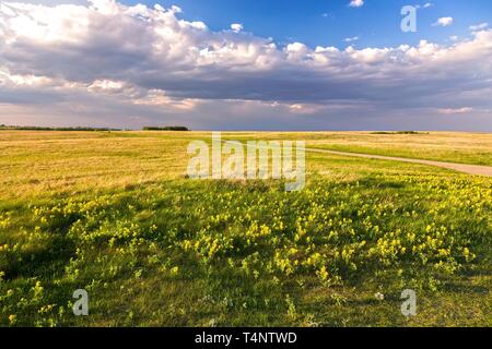 Prairie Grassland Landscape and Yellow Springtime Wildflowers Blooming on Nose Hill Natural Park in Calgary Alberta - Stock Image