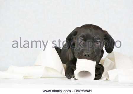 Mixed-breed dog. Puppy (3 month old male) playing with a roll of toilet paper. Studio picture against a white background. Germany - Stock Image