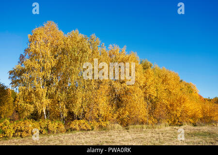 Trees with golden yellow foliage in autumn. Bitsevski Park (Bitsa Park), Moscow, Russia. - Stock Image