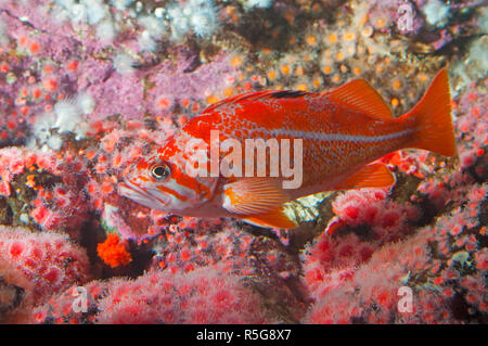 A Vermillion rockfish (Sebastes Miniatus, found off the coast of British Columbia, Canada. - Stock Image