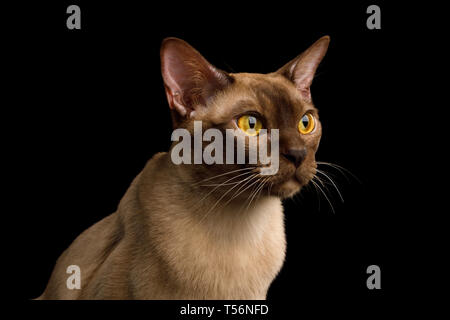 Close-up Portrait of Burmese Cat with Curious Gazing on isolated black background, profile view - Stock Image