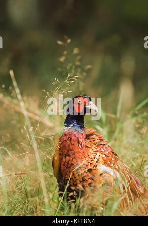 Common Pheasant, (Phasianus colchicus), Kew Gardens, London, United Kingdom - Stock Image