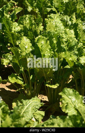 beta vulgaris leaves on field in bavaria in july macro shot, mangelwurzel or fodder beet lit by the early summer sun - Stock Image