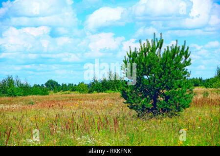 Young pine growing in summer field. Meadow landscape with field of grass pine and blue sky. Wild nature. Summer landscape with pine. - Stock Image