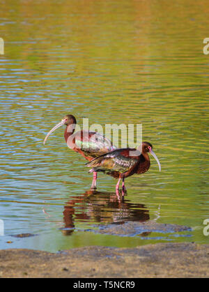 Two White-faced Ibis (Plegadis chihi) rest near the shore of a pond at Expo Park, Aurora Colorado US. Photo taken in May. - Stock Image