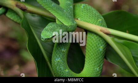 Green snake on a branch - Stock Image