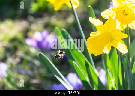 Daffodil flowers Narcissus pseudonarcissus with a honey bee Apis mellifera flying towards them blurred bokey background of crocuses - Stock Image