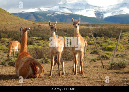 A couple of young Lamas with their mother , Torres del Paine - Stock Image