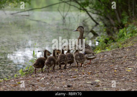 A wild mama duck gathers together her clutch of fuzzy young ducklings by a scenic lake - Stock Image