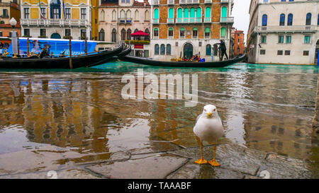 Vencia, Italy, 5 March 2018. The most romantic city in the world, invaded by dangerous and aggressive seagulls hunting for food. - Stock Image