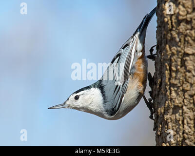 White-breasted Nuthatch - Stock Image
