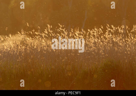 Reed in backlight at sunset at the river Peene, nature park Nature Park Peental, Mecklenburg-Western Pomerania, Germany - Stock Image