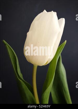 Single White Tulip Against A Grey Background. - Stock Image