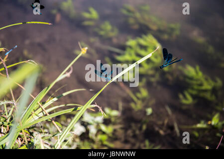 Natural environment of dragonflies (Anisoptera) near lake in the grass - Stock Image