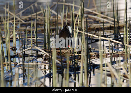 Common Moorhen - Stock Image