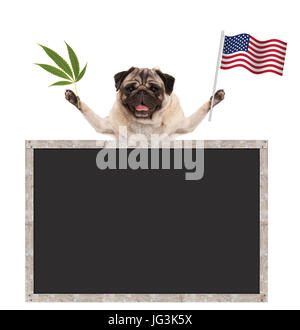 Happy smiling pug puppy dog waving American National flag of USA, with blank blackboard, isolated on white background - Stock Image