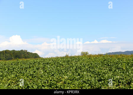 Landscape of the farm shows an agricultural land and blue sky that is slightly cloudy. - Stock Image