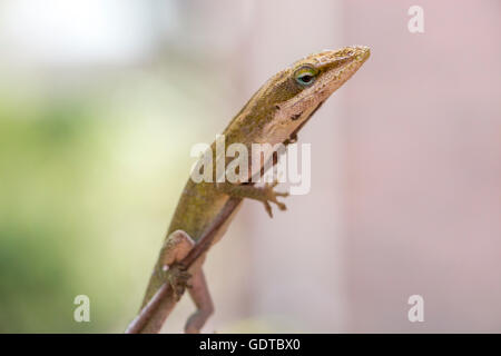 A green anole holds onto a twig looking down - Stock Image