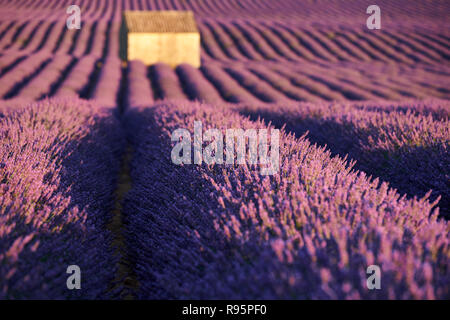 Lavender fields in Valensole at sunset with shed in Summer. Alpes de Haute Provence, France - Stock Image