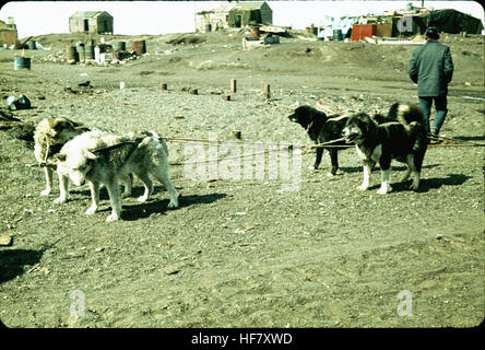 Sled dogs lined up and ready to go; Point Barrow, Alaska. - Stock Image