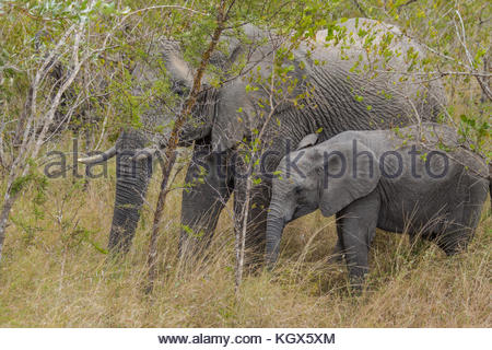 South African Mpther and Child Elephant - Stock Image