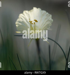 Narcissus Flower, Narcissusromieuxii var. rifanus, Close-Up with Anthers and Stamen - Stock Image