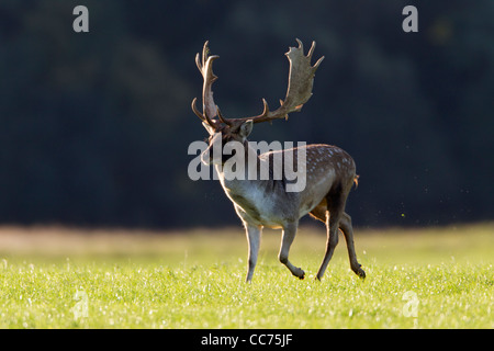 Fallow Deer (Dama dama), Buck Running during the Rut, Royal Deer Park, Klampenborg, Copenhagen, Sjaelland, Denmark - Stock Image