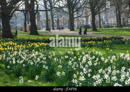 Daffodills and narcissus, Canada Gate to Buckingham Palace, Green Park, London, England, United Kingdom, Europe - Stock Image