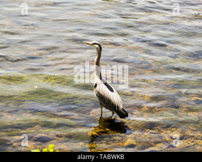Heron wading in the water and waiting for a prey. - Stock Image