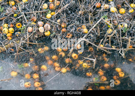 Yellow apples by a frozen lake with ice in the winter on a cold morning in january - Stock Image