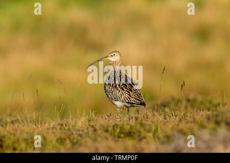 Curlew (Scientific name: Numenius arquata) Adult curlew in the Yorkshire Dales, UK , at daybreak in natural habitat with clean, blurred background - Stock Image