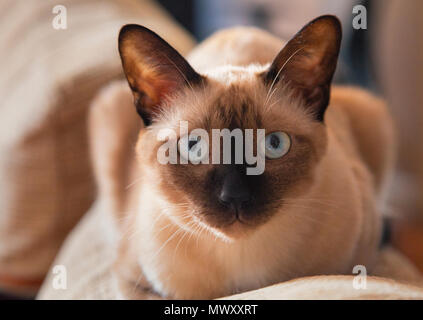 A house cat in Bangkok Thailand - Stock Image
