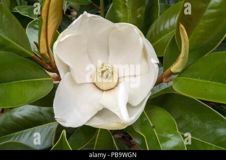Large fragrant flower and glossy leaves of  Magnolia Grandiflora Ferruginea - Stock Image