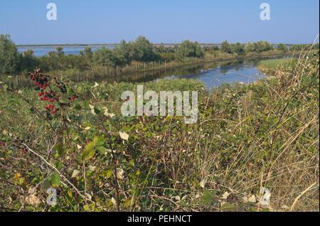 bramble bush in Po Delta Natural Park, Veneto region, Italy - Stock Image