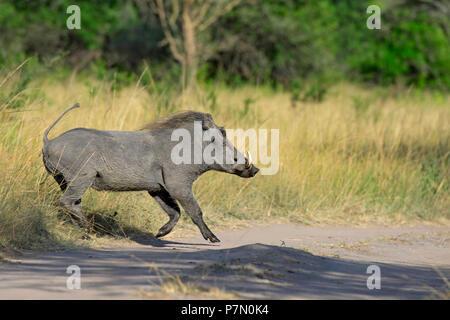 Warthog, Lake Mburo National Park, Uganda, East Africa - Stock Image