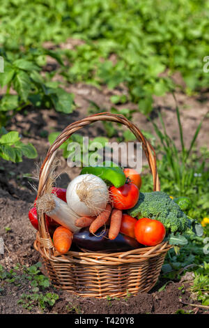 A wicker basket full of freshly picked organic vegetables from the garden. - Stock Image